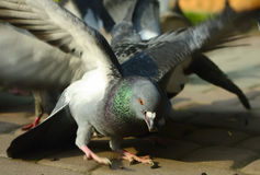 Pigeon caught the seed Royalty Free Stock Photos