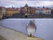 Pigeon on Charles Bridge Royalty Free Stock Photo