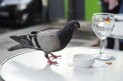 Pigeon checks the bill, St. Germaine, Paris, France. A pigeon checks the bill at an outdoor table at a cafe in St. Germaine, Paris, France Stock Image