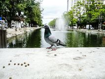 Pigeon in Chiang Mai. A pigeon at the water channels of Chiang Mai, Thailand stock image