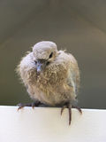 Pigeon chick sitting in the cadge Royalty Free Stock Photo