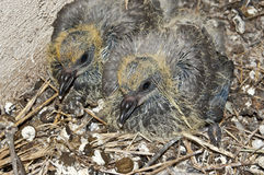 Pigeon chicks Stock Images