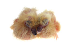 Pigeon Chicks Royalty Free Stock Image