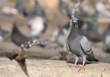 Pigeon in the city. Pigeon on the fountain curbstone in town square royalty free stock photography