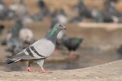 Pigeon in the city. Pigeon on the fountain curbstone in town square stock photo