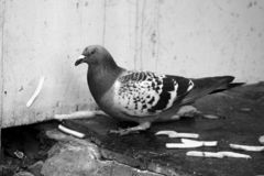 Pigeon in the city. A pigeon in the big city, eating some fries Stock Image