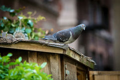 Pigeon in the City Stock Image
