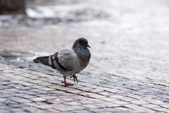 Pigeon city street. A gray pigeon walking on cobblestones - on a city street in winter Stock Photos