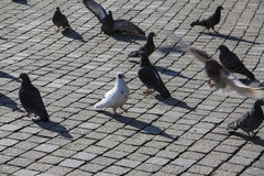 Pigeon city street Royalty Free Stock Photos