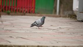 Pigeon on a city street in the park and fly away.  stock video