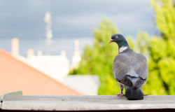 Pigeon in the city. Royalty Free Stock Photo