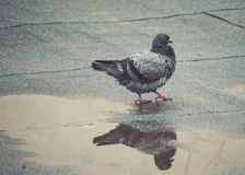 Pigeon cleaning its feathers in a muddy puddle Stock Photography