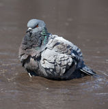 Pigeon cleans its feathers Stock Photos