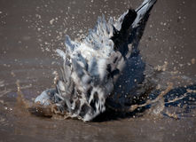 Pigeon cleans its feathers Royalty Free Stock Photography