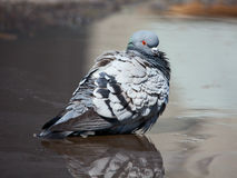 Pigeon cleans its feathers Stock Photo