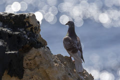 Pigeon on the cliff edge Stock Image