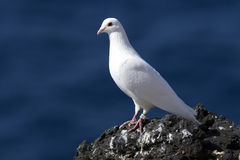Pigeon on the cliff edge Royalty Free Stock Photos