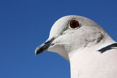 Pigeon close-up. Close-up of pigeon agains a blue sky royalty free stock photography