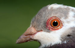 Pigeon close up Royalty Free Stock Photo