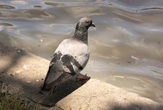 Pigeon close up Royalty Free Stock Photos
