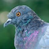 Pigeon Close-Up. Close-up of rock pigeon Columba livia stock photos