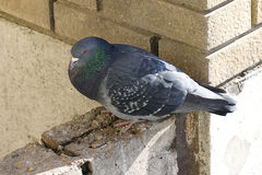 Pigeon close up Royalty Free Stock Images