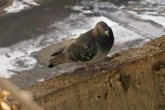Pigeon close up Stock Photos