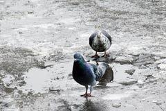 Pigeon close up Stock Image