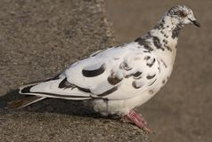 Pigeon-2 Royalty Free Stock Photos