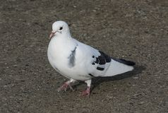 Pigeon-1 Stock Images