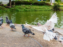 Pigeon close up in park. Royalty Free Stock Images