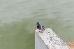 Pigeon close up in park. Stock Photo