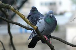Pigeon, close up on pigeons resting on a branch stock image