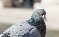 Pigeon. Close up portrait of pigeon on blured background Stock Photography