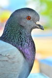 Pigeon Close Up Stock Images