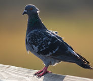 Pigeon Close up Profile Royalty Free Stock Photo