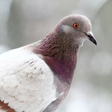 Pigeon close up Royalty Free Stock Photography