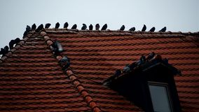 Pigeon close up on the roof stock video
