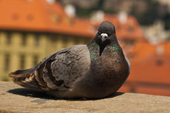 Pigeon from close-up Stock Photo