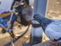 Pigeon close up view and bicycle in the background stock images