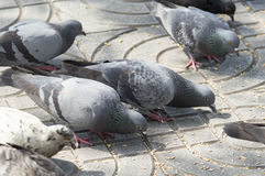 Pigeon. Closeup image of street pigeon standing on the stone ground Royalty Free Stock Photo