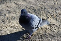 Pigeon closeup in the park juan Carlos I, Madrid royalty free stock images