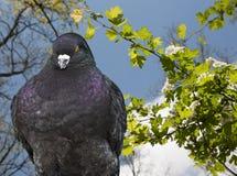 Pigeon closeup Stock Photography