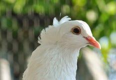 Pigeon closeup Stock Photo