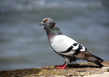 Pigeon on the coast,Colorful pigeon - clipping path Royalty Free Stock Photos