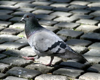Pigeon on cobblestone Royalty Free Stock Image