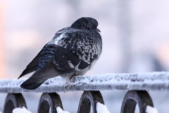 Pigeon on a cold Royalty Free Stock Image
