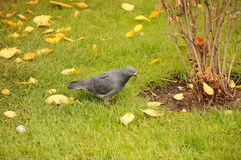 A pigeon in the cold day Stock Photography