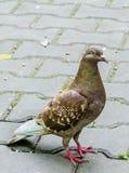 Pigeon coloré avec l'oeil rouge Photographie stock