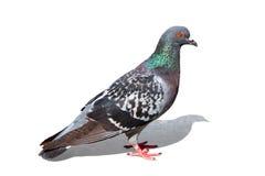 Pigeon coloré - chemin de découpage Images stock